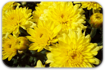 Fall Crop:Hardy Mums, Hardy Asters, Montauk Daisies, Pumpkins, Gourds